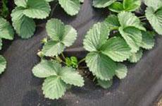 rayson nonwoven,ruixin,enviro-UV Treated Weed Control Nonwoven Fabric-4
