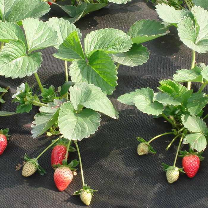Air perméable spunbond non tissé de paillis pour les fraisiers