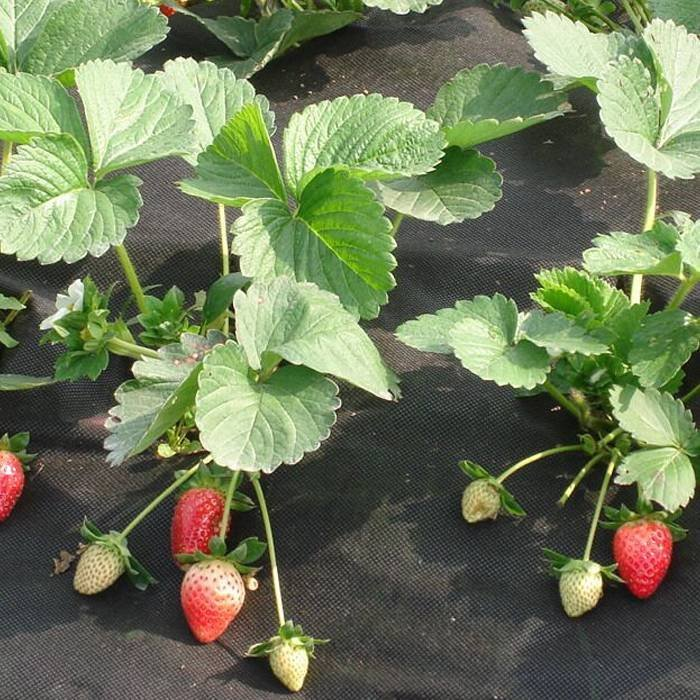 Biodegradable Strawberry Cover Nonwoven In Black Color For Weed Control