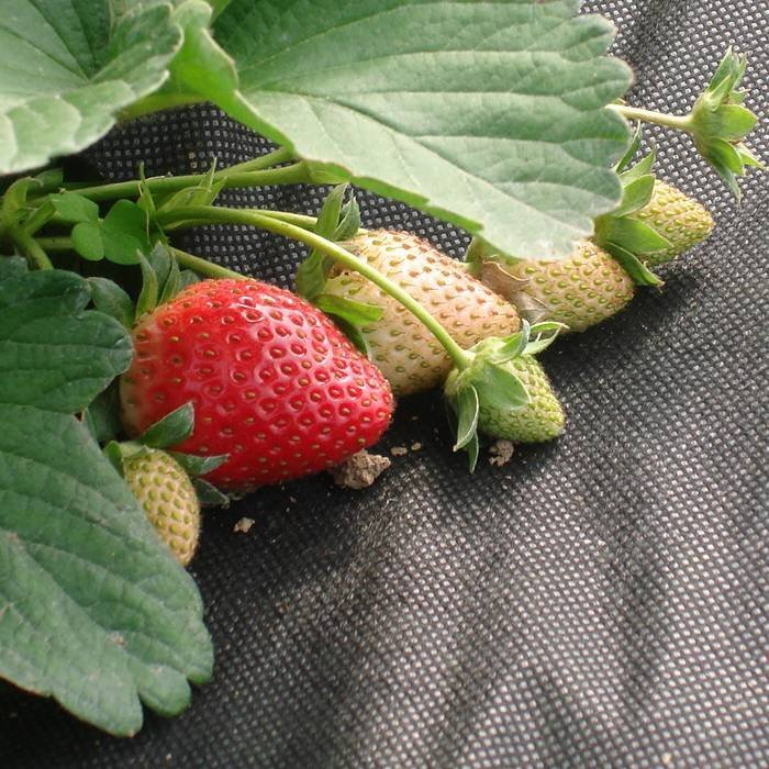Starwberry weed control fabric
