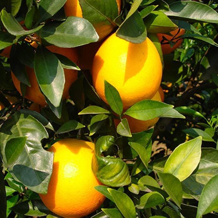 TNT Fruit Protection Bags
